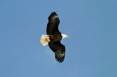 Wild bald eagle against blue sky Royalty Free Stock Image