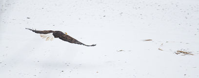 Wild bald eagle flying over snow Royalty Free Stock Photography