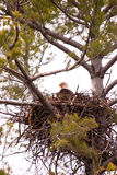 Wild Bald Eagle on Nest. Wild Wisconsin Adult Bald Eagle on Nest in White Pine Tree Stock Photos