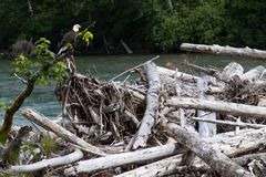 Wild Bald Eagle on River Royalty Free Stock Photography