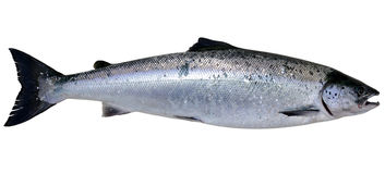 Wild Baltic salmon. Baltic wild salmon isolated on white background Royalty Free Stock Photos