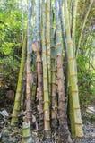Wild bamboe Royalty-vrije Stock Afbeeldingen