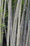 Wild bamboo trees Royalty Free Stock Photography