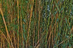 Wild Bamboos. Nature backgrounds Stock Images