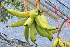 Wild banana (Musa spp. AAB group) Stock Photography