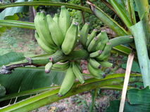 Wild bananas Royalty Free Stock Image