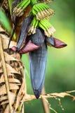 Wild bananas. (Musa acuminata) Royalty Free Stock Photography