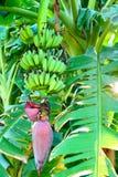 Wild bananTree Royaltyfria Foton