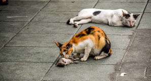 Wild Bangkok cats eat giant rat stock images