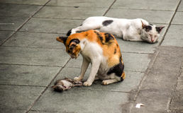 Wild Bangkok cats eat giant rat royalty free stock photos