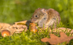 Bank vole eating acorn. Wild Bank vole (Myodes glareolus) eating acorn on autumn scene forest floor with dead leaves and acorns Stock Photos