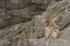 Wild Barbary Macaque monkey in the mountains Stock Image