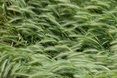 Wild barley Stock Photography