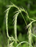 Wild barley Stock Photos