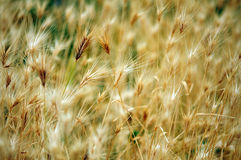 Wild barley summer field Royalty Free Stock Image