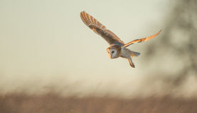 Wild Barn owl Stock Photography