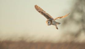 Wild Barn owl Stock Photography