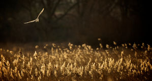 Wild Barn owl Stock Photos