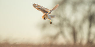Wild Barn owl Stock Images