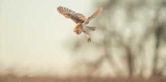 Wild Barn owl Stock Images
