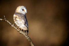 Wild Barn owl. A beautiful wild barn owl sitting on a natural perch looking over its shoulder Stock Images