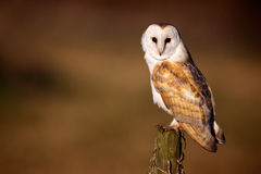 Wild Barn owl. A beautiful wild barn owl sitting on a post looking at the camera Royalty Free Stock Images