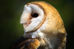 Wild barn owl Stock Photo