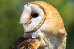 Wild barn owl Royalty Free Stock Image