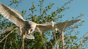 Wild Barn Owl in flight. Flying bird above the meadow stock photography