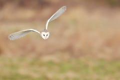 Wild barn owl flying Stock Image