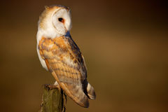 Wild barn owl Royalty Free Stock Photos