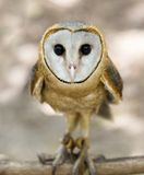 A wild barn owl Stock Photos