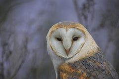 Wild Barn Owl Royalty Free Stock Photography