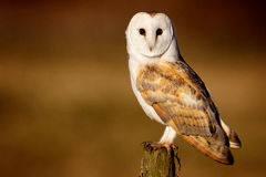 Wild barn owl on a post. A wild barn owl rest on an old wooden post looking straight at the camera  on a natural background Stock Images