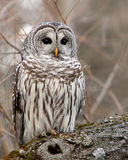 Wild Barred Owl. In Brighton, Ontario royalty free stock photography