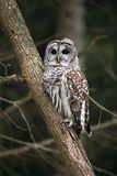 Wild Barred Owl Royalty Free Stock Image