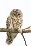 Barred Owl isolated on white Royalty Free Stock Photography