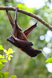 Wild bat Royalty Free Stock Photo