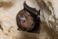 Wild bat in a cave Stock Photo