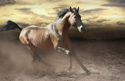 Wild bay horse galloping fast across dusty steppe royalty free stock photo