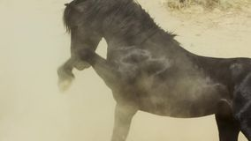 A wild bay mustang of the Onaquai wild horse herd. Standing stoically in the desert of Nevada, United states stock image