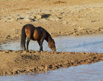 Wild Bay Stallion at the Water Hole Stock Photo
