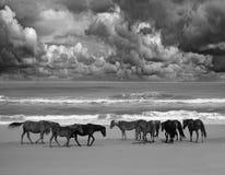 Wild beach horses Stock Image