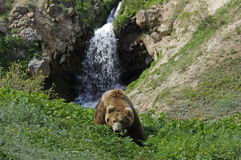 Wild bear Stock Photo