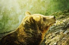 Wild Bear Royalty Free Stock Photo