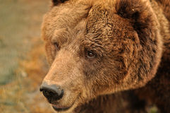 Wild bear. In Carpathian mountains Royalty Free Stock Images