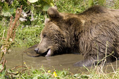 Wild Bear Cooling In Water Royalty Free Stock Images
