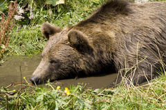 Wild Bear Cooling In Water Stock Photo