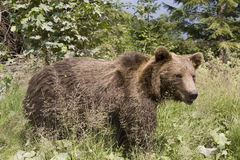 Wild Bear In The Forest Royalty Free Stock Images