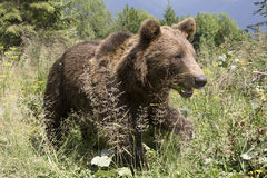 Wild Bear In The Forest Stock Photos